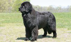 Newfoundland Dog Breed - beautiful!