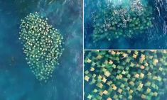 Extraordinary moment HUNDREDS of shimmering rays swim Romantic Quotes For Her, Farm Hero Saga, Swimming, In This Moment, Videos, Places, Romantic Lines For Her, Swim, Lugares