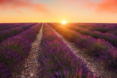 Sunrise over the lavender fields of Provence, France.  My thoughts are with everyone in Paris and across France today as we share a minutes silence.  Web: www.leeduguid.com.au Join me: Cambodia 2016 Learn: Photoshop Tutorials