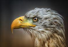 eagle no. 3 by Detlef Knapp, via 500px