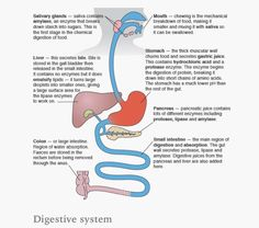Digestive system organs science pinterest aqa digestive system ccuart Images