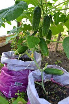 Огурцы в мешках не занимают много места, а вот урожай можно собирать весь сезон и до 10 кг с каждого куста. Для этого необходимо всего лишь.