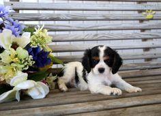 Dallas - Cavalier King Charles Spaniel Puppy for Sale in Ligonier, IN   Buckeye Puppies
