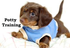 Dachshund Puppies. How To Potty Train A Dachshund Puppy. Dachshund House Training Tips. Housebreaking Dachshund Puppies Fast & Easy. Share this Pin with anyone needing to potty train a Dachshund Puppy. Click on this link to watch our FREE world-famous video at ModernPuppies.com