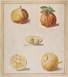 These drawings are related to preparatory drawings for illustrations in J.B. Ferrari's book, 'Hesperides', first published in Rome in 1646. This was a publication describing the varieties of citrus fruit then in cultivation, with engraved illustrations of the fruit as well as views of gardens and of equipment for cultivating the trees. However, these drawings are not reproduced in Ferrari's book.