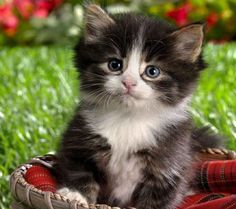 fluffy! i want this kitten <3