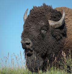 Custer State Park . Black Hills, South Dakota