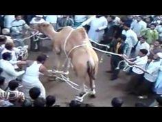 Camel Qurbani by Professional Qasai | Eid ul Adha 2015 |2016 Lahore - YouTube
