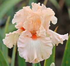 TB Iris germanica 'Whisper Her Name' (Blyth, 2011)