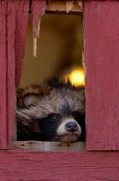 """Honey, I'm HOME! Racoon doing Jack Nicholson in """"The Shining"""""""