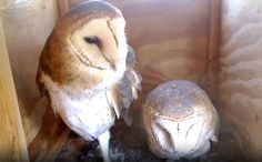 Cute Animal Video of the Day: Strange Looking Owls Protect Their Eggs ~ http://www.care2.com/causes/cute-animal-video-of-the-day-strange-looking-owls-protect-their-eggs.html#  Watching these owls in live streaming is fascinating.