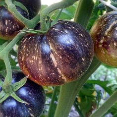 Tomato INDIGO™ 'Dark Galaxy' (OP) Indeterminate. 1-3 oz. round, oblate fruits. Unripe fruits are green with purple anthocyanin stipples & sp...