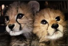 Catster is for cat owners and lovers. Find info on vets or breeds or laugh at funny cats. Use the groups and forums to connect and share with friends. Pretty Animals, Cute Baby Animals, Baby Cheetahs, Cheetah Cubs, Pretty Baby, Pretty Kitty, Big Cats, Cute Puppies, Cute Babies