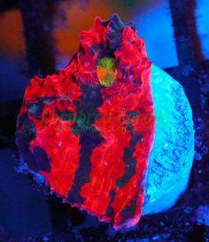 Cornbred's My Bugatti Chalice - WYSIWYG - frag -- live coral
