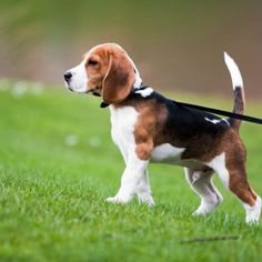 18 Awesome Beagle Mixes: Hearty, Healthy Mixed Breed Hounds! Best Family Dog Breeds, Most Popular Dog Breeds, Family Dogs, Norfolk Terrier, Art Beagle, Beagle Puppy, Most Beautiful Dog Breeds, Pocket Beagle, Bulldog Breeds
