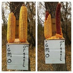 Even the critters know which corn to avoid. In case you don't know, corn is one of the most heavily genetically modified crops there is - along with soy. Full list here: http://www.healthy-eating-politics.com/genetically-modified-crops.html