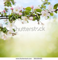 White Blossom Stock Photos, Images, & Pictures | Shutterstock