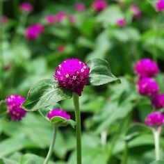 #Gomphrena Globosa Purple- What a great addition to your #flower garden! Globe Amaranth #seeds readily produce these bright little golf ball-like blooms. They look so attract... #underthesunseeds #annual #garden