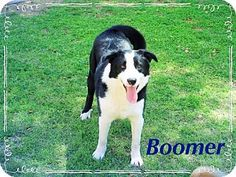 Chandler, AZ - Border Collie/Labrador Retriever Mix. Meet BOOMER - Regal!, a dog for adoption. http://www.adoptapet.com/pet/17928709-chandler-arizona-border-collie-mix