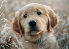 Scout the Golden Retriever