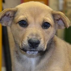 Codey is a two-month-old Boxer / Shepherd blend puppy yearning for her forever home. You can adopt her in San Diego!