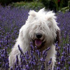 Sheepdog Living in the Netherlands