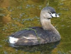 Pied-billed Grebe Photos