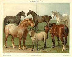 HORSES, PFERDERASSEN,NEOPOLITAN, BELGIAN, CLYDESDALE, OLDENBURGER, NORIK, DALES PONY, 1894 Original Antique Chromolithograph