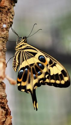 of a tiger swallowtail - Picture of a tiger swallowtail. -Picture of a tiger swallowtail - Picture of a tiger swallowtail. Butterfly Species, Butterfly Weed, Butterfly Flowers, Butterfly Wings, Most Beautiful Butterfly, Beautiful Bugs, Bumble Bee Tattoo, Pictures Of Insects, Insect Photos