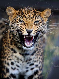 Leopard by byrdyak on Jaguar Animal, Jaguar Leopard, Black Jaguar, Majestic Animals, Animals Beautiful, Animals And Pets, Cute Animals, Wild Animals, Baby Animals