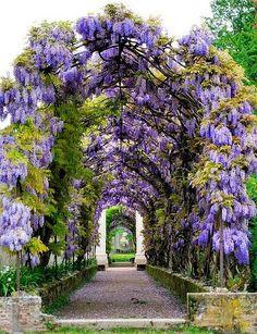 Wisteria+in+the+gardens,+Villa+Pisani,+Veneto,+Italy.jpg 384×500 pixels