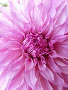 Beautiful Dalhia .. by Mimi