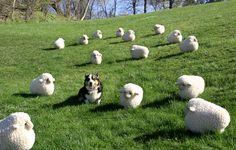 Fields full of stuffed sheep   38 Things That Make CorgisHappy