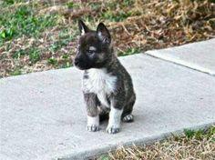 Wolf dog hybrid puppy