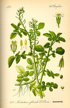 Historical botanical illustration of theday: Nasturtium officinale