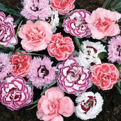 Pinks Frills and Fragrance Mix (Carnation)
