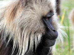 Baboon seen during 1 Peak 1 Week Ethiopia (Photo: Peaks Foundation)