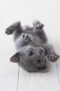 Cutest Kitten Breeds: Russian Blue