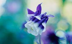 Aquilegia vulgaris 'Adelaide Addison' Photo: Jason Ingram