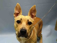 SAFE - 08/12/15 - TO BE DESTROYED - 08/13/15 - SCARLETT JOE - #A1046059 - Urgent Brooklyn - FEMALE TAN/WHITE GERM SHEPHERD/PIT BULL, 2 Yrs - OWNER SUR - EVALUATE, NO HOLD Reason PERS PROB Intake Date 07/31/15