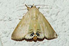 Litoprosopus coachella, Palm Flower Moth