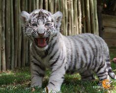 Cute White Tiger Cubs | 1024x768 | 1280x1024