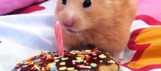 These Hamster's Birthdays Are Very Delightful That Will Make Your Heart Overflow With Joy.