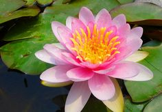 Shanghai - Water Lily | Flickr - Photo Sharing!