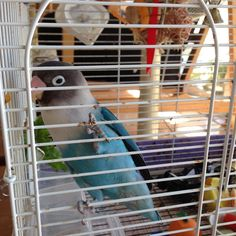 My blue bird ! #bird #life #bluebird #parakeet #bon #torimizuki