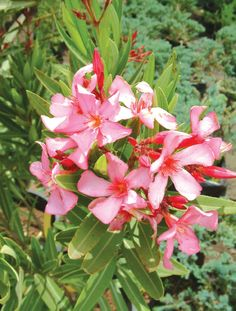 El Laurel en Flor es ideal para tu jardín. Le da un aroma especial a tu ambiente. ¡Pinéalo! #MiJardinPerfecto!  #Primavera  #Deco #Terraza # #Hogar #easychile #easytienda #easy #Concurso #Jardín #Flores #Colores