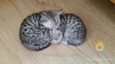 breeder of British shorthair black silver tabby and spotted kittens cats British Shorthair, Cats And Kittens, Black Silver, Sleep, Serval Cats, Catfish