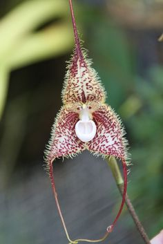 Fuzzy Monkey Face Orchid   by Columbus GV Team: Taken on a Habitat for Humanity Global Village mission trip to Guayaquil, Ecuador in June 2008. #ColumbusGVTeam #Ecuador #Monkey_Face_Orchid