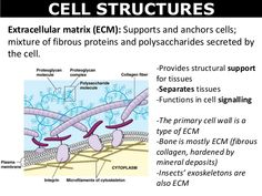 labeled onion cell epidermis molecular biology visual. Black Bedroom Furniture Sets. Home Design Ideas