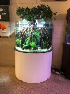 200 Gallon Rimless Bullnose Glass Aquarium with Custom Mangrove Tree Insert Glass Aquarium, Nature Aquarium, Aquarium Design, Planted Aquarium, Growing Vegetables, Growing Plants, Rimless Aquarium, Indoor Water Garden, Mustard Flowers